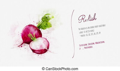 Information and description of Radish - Watercolor card...