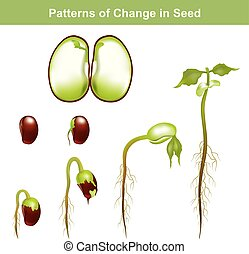 information, graphique, seed., vector., germination, education