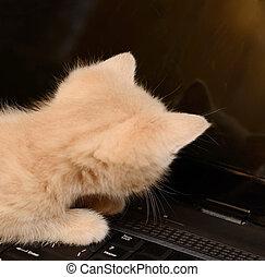 informatique, chaton