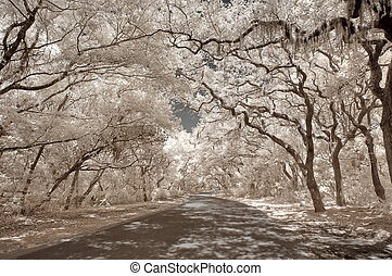 Infrared Oak trees with Spanish Moss on Amelia Island,...
