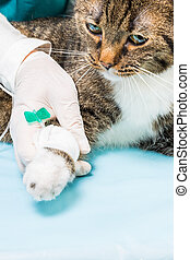 infusion at a cat