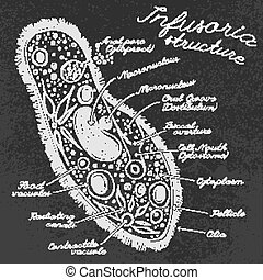 Infusoria Hand drawn Image - Infusoria structure hand-drawn...