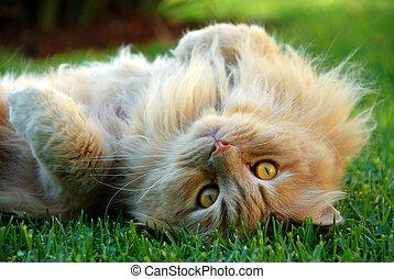 ingefära katt