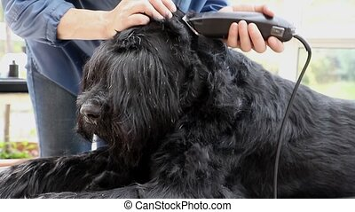 Initiation of grooming of the Giant Black Schnauzer dog. The...