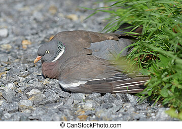 Injured Common wood pigeon lying on the gravel road - ...