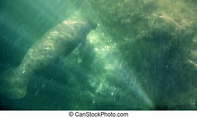 Injured Florida Manatee - Injured Manatee with visible deep...