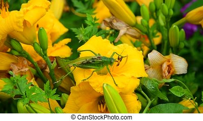 Injured grasshopper with one wing on flower - Injured...