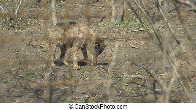 Injured Wolf Baby in Captivity - An injured brown baby wolf...
