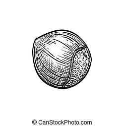 Ink sketch of hazelnut. Hand drawn vector illustration. ...