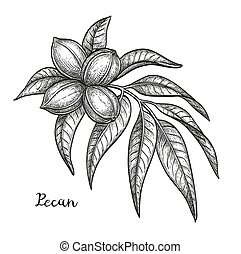 Ink sketch of pecan branch. Isolated on white background....