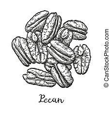 Ink sketch of pecan - Handful of pecans. Vector illustration...