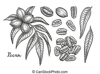 Ink sketch of pecan - Pecan set. Ink sketch of nuts. Hand...