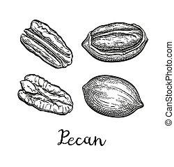 Ink sketch of pecan - Pecan set. Ink sketch of nuts. Hand...