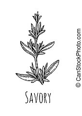 Ink sketch of savory. - Savory ink sketch. Isolated on white...