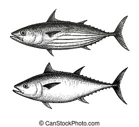 Ink sketch of Skipjack and Atlantic bluefin tuna.