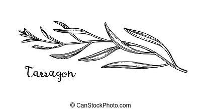 Ink sketch of tarragon. - Tarragon ink sketch. Isolated on ...