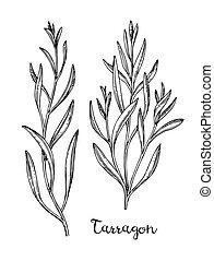 Ink sketch of tarragon. - Tarragon set. Ink sketch isolated ...