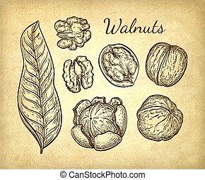 Ink sketch of walnuts