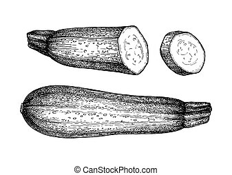 Ink sketch of zucchini - Zucchini. Ink sketch isolated on...