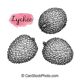Ink sketch set of lychee fruits. - Ink sketch of lychee...