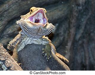 Inland bearded Dragons (Pogona vitticeps) - Central bearded...