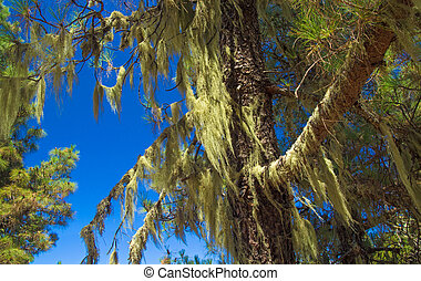 Inland Gran Canaria, Canary Islands pine tree covered in ...