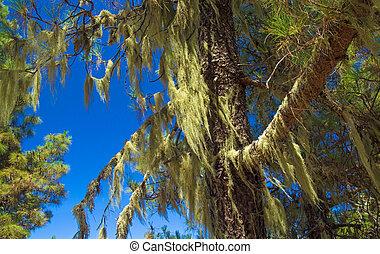 Inland Gran Canaria, Canary Islands pine tree covered in Usnea, beard Lichen