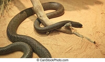 Inland taipan snake in a natural background. Oxyuranus microlepidotus species is an Australian very venomous snake. Elapidae snakes family. Living in semi-arid regions of central east Australia.
