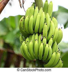 inmaduro, verde, cultivador, árbol, plátanos