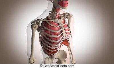 innere organe, handlung, perspektive, ansicht, mit, bewegung