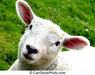 innocence - portrait of a lamb on a meadow