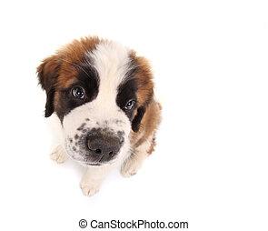 Saint Bernard Puppy Looking Sweet and Innocent