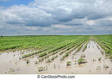 inondé, agriculture, soja, champ