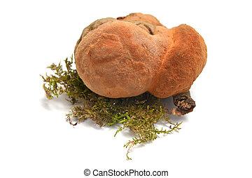 Inonotus cuticularis fungus isolated on white background
