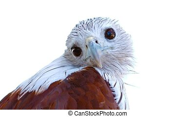 """""""Inquisitive Brahmini Kite, isolated against a white background, cocks his head and observes his surroundings."""""""