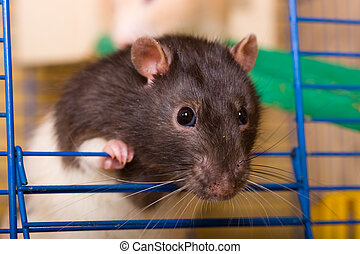 Inquisitive glance - Black rat in the cage close up