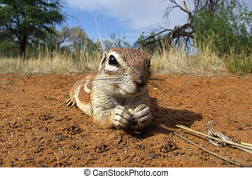 Inquisitive ground squirrel (Xerus inaurus) lying on the ...