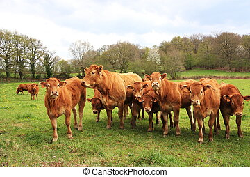 Inquisitive Limousin Calves - A row of Limousin calves and a...