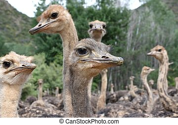 Inquisitive Ostriches - Flock of inquisitive young ostriches...
