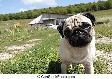 Inquisitive pug dog