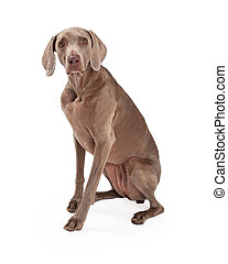 An inquisitive Weimaraner Dog sitting while looking forward.