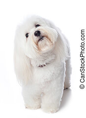 A white Coton de Tulear dog. He is tilting his head with a look of inquisitiveness or confusion. This rare breed is related to the Bichon Tenerife & Tenerife Terrier. Isolated on a white background.