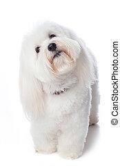 Inquisitive White Dog - A white Coton de Tulear dog. He is...