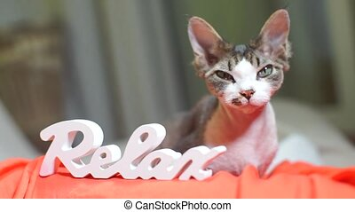 inscription relax on the background of a cat Devon Rex