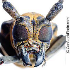 insec long horn beetle - insect mulberry borer long horn...