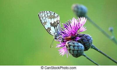 insect, цветок, zygaena