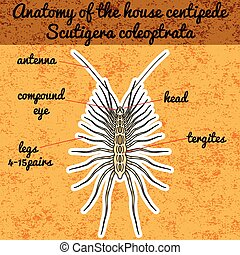 Insect anatomy. Sticker Scutigera