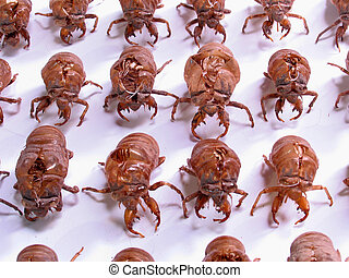 Insect Army: Military Cicada shells - Cicada exoskeletons...