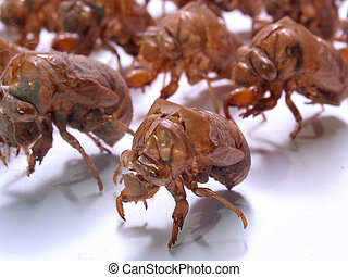 Insect Army: Military Cicada shells