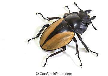 insect, beetle, bug, in genus Odontolabis on white ...